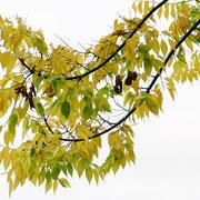 Bogenförmige End-Triebe mit Herbstlaub, Foto HK.; Aufnahme-Datum: 17.10.2018
