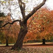 Catalpa im Herbstaspekt vor 2 anderen Naturdenkmalen Hänge-Buche (links im Hintergrund) und Blutbuche (rechts im Hintergrund), Foto H.Kuhlen, Aufnahme-Datum 06.11.2008