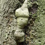 Wundholzbildung, Versuch des Baumes die Höhlung zu schließen, Foto H.Kuhlen, Aufnahme-Datum 23.05.2008