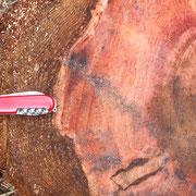 Stammquerschnitt eines ca. 30 Jahre alten Baumes, die Borkenstärke beträgt hier schon 9cm.