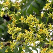 Blütenstand mit Hummel und Biene