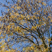 Kronenteil im Herbstaspekt mit den Fruchtständen (Lederhülsen)