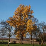 Ginkgo mit ländlichem Umfeld, Herbstaspekt, Foto H.Kuhlen, Aufnahme-Datum 22.11.2014