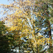 Kronenteil im Herbstaspekt