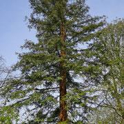 Habitus Ostseite im Einzelstand. In der Heimat Kalifornien bis 100m hoch wachsend und  700 bis 2000 Jahre alt werdend