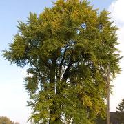 Habitus, Foto H.Kuhlen, Aufnahme-Datum 25.10.2008
