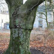 Stammbild mit Veredlungsstelle, Foto Heinz Kuhlen, Aufnahme-Datum: 13. 02. 2016
