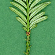 Ausbildung von 2 Blattformen, Triebstück mit spiralig angeordneten den Trieb anliegenden 6mm Schuppenblättern (unterer Bildrand)
