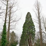 Zweier Gruppe von Riesen-Mammutbäumen (Bildmitte), Einrahmung (linke und rechte Bildhälfte) durch Urweltmammutbäumen