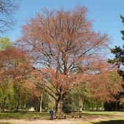 Habitus im kupferroten Frühjahr-Austrieb, Foto H.Kuhlen, Aufnahme-Datum 11.04.2011