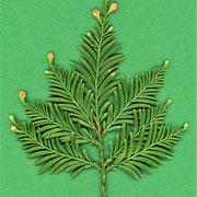 Junges Triebstück Oberseite mit gescheitelter Benadelung und mit Blütenanlagen an den Zweigspitzen