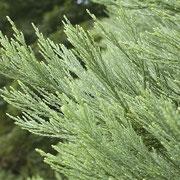 Zweigstück mit den spiralig angeordenten pfriemähnlichen Nadeln. Diese sind an Seitentrieben 3-6mm lang, an Leittrieben 10 bis 15mm lang und scharf zugespitzt