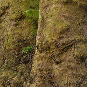 Gabelungsbereich im Kronenansatz mit Epiphyten (Bergahorn und Schöllkraut), Foto HK., Aufnahme-Datum 02.04.2017