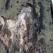 Durch Pilze und Insekten zertörtes Rinden- und Holzgewebe, Foto H.Kuhlen Aufnahme-Datum 28.02.2016