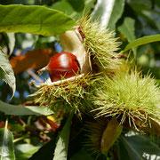 Esskastanien-Frucht, Foto HK., Aufnahme-Datum: 27.10.2017