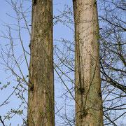 Zweier-Gruppe von Urweltmammutbäumen mit Neuaustrieb an den Stämmen