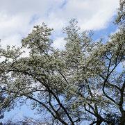 Die ganze Pracht der weißen Vollblüte erschließt sich erst im Kontrast voll bei blauem Himmel oder dunklen Koniferen