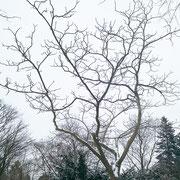 Baumkrone im Winteraspekt 23.01.2019