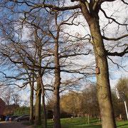 Quercus robur mit Fledermaus-Kästen, Foto H.Kuhlen, Aufnahme-Datum 04.02.2016