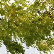 Astpartie mit beginnender Herbstfärbung
