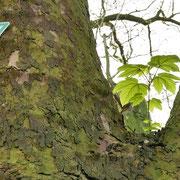 Einwachsendes Naturdenkmalschild und epiphytisch wachsender Bergahorn in der Astgabel, Foto HK., Aufnahme-Datum: 02.04.2017