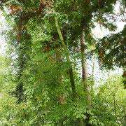 Betula lenta im Schattendruck von Seqouia sempervirens 16.08.2017, Baum im April 2021nicht mehr existent