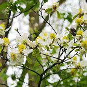 Blütenzweig mit Blüten, 04.04.2019