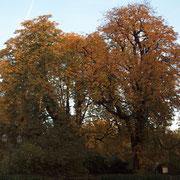 Baumkronen mit Blattschäden durch Rosskastanien-Minier-Motte, Foto Heinz Kuhlen, Aufnahme-Datum: 22. 10.2013