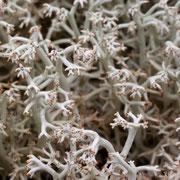 Cladonia rangiferina (Foto: Jessica Rosenkrantz)