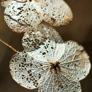 Hydrangea heteromalla (Foto: Jessica Rosenkrantz)