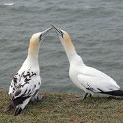 Basstölpel , gesehen auf Helgoland