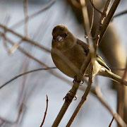 Buchfink weiblich