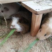 Lisa, April und Lila im Maisblattrausch