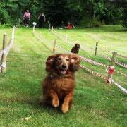 Kamillo, 12 Jahre, war der schnellste Veteranendackel