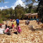 The students prepare the maize for long term storage in the container.