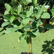 erythrina crista gallii