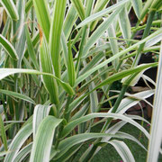 Arundo donax versicolor