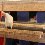 Huhn vor dem Familiennest