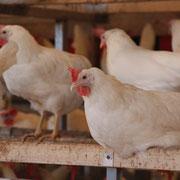 Hühner auf der Sitzstange