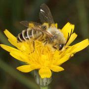 Männchen der Hosenbiene (Dasypoda hirtipes) auf dem Blütenstand des Habichtskrautes
