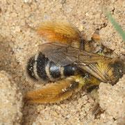 Weibchen der Hosenbiene (Dasypoda hirtipes) bei der Arbeit