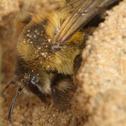 Weibchen der Hosenbiene (Dasypoda hirtipes) am Eingang eines Brutnestes