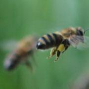 Pollenträgerin mit gelben Pollen
