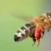 Pollenträgerin mit roten Pollen