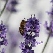 Lavendelhonig im Westerwald, Honig in der Nähe von Hausgärten ist vielseitig