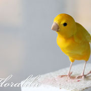 Sugar Canary | Floralilie Sugar Art