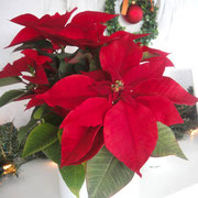 The front poinsettia is made ​​from sugar. The flower in the background is real.