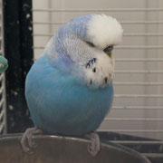 Неон - голубой спенгл/ коричный, осветленный-?