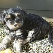 wuff wuff mein Name ist  Annabelle von Limes-Steinberg ich bin am 20.12.2012 geboren u. seit dem 19.02.2013 habe ich eine neue Familie