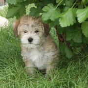 Hallo mein Name ist  Balu von Limes-Steinberg, ich bin am 14.03.2013 geboren u. seit dem 18.5.2013 habe ich eine neue Familie